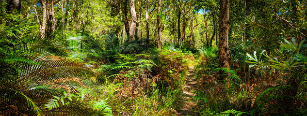 Bush walking track behind 7 mile beach Gerroa NSW Australia, native banalay tree forest with ferns and  burrawang under growth