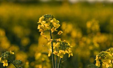 Obraz Rzepak kwiat zdjęcie w technice digital - fototapety do salonu