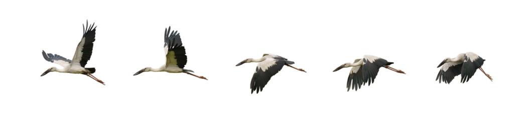 Fototapeta set of flying asian openbill strok birds obraz