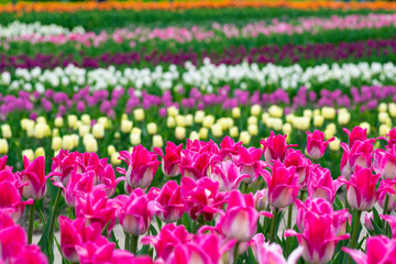Canvas Prints Pink View on Beautiful field of pink, yellow, purple and white tulips close up. Spring background with tender tulips. Floral background.