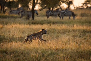 African hyena with zebras in background at beautiful landscape in the Serengeti National Park during safari. Tanzania. Wild nature of Africa..