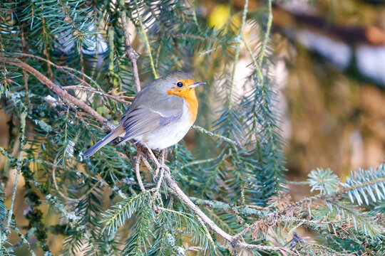 beautiful  Robin bird on nature background