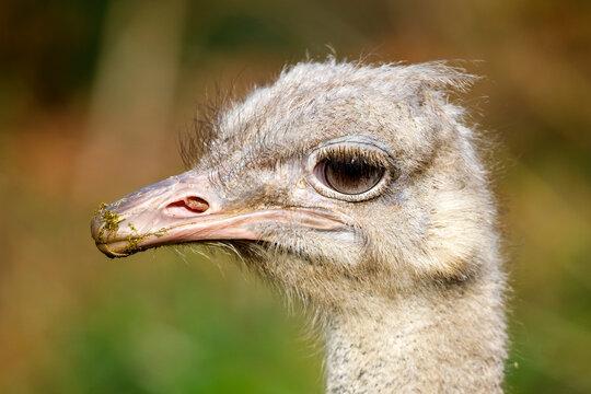 Struthio camelus australis on nature background