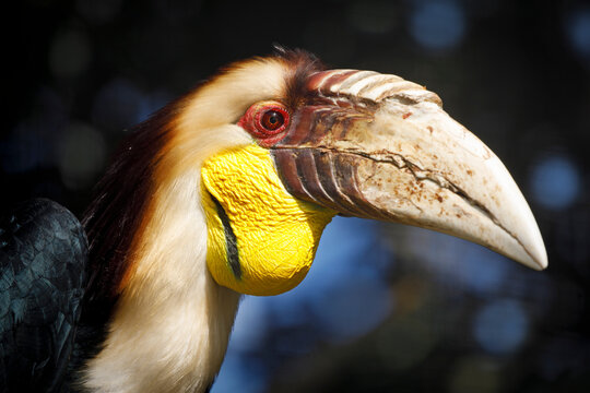 wreathed hornbill (Rhyticeros undulatus), also known as the bar-pouched wreathed hornbill (male)