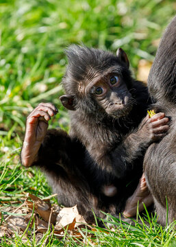 close-up of a crested macaque monkey baby