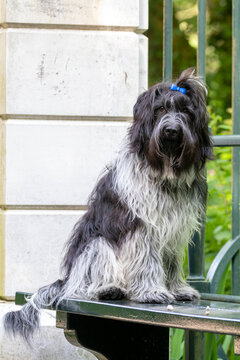 Dutch sheepdog (Schapendoes) dog outdoor