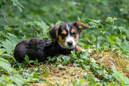 cute Corgi pup on nature background