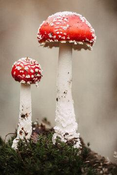 Close-up Of Fly Agaric Mushroom