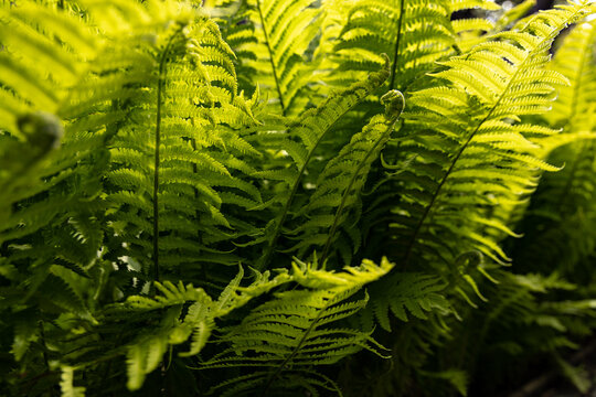 Fresh ferns on a summer day. sun is backlighting the fern, with lush green color emerging. Great for background and for nature imagery.