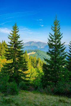 spruce trees on the mountain meadow. wonderful summer landscape in the morning. idyllic nature background of ukrainian carpathians