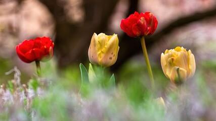Obraz Tulipany na wiosnę w różnych kolorach - fototapety do salonu