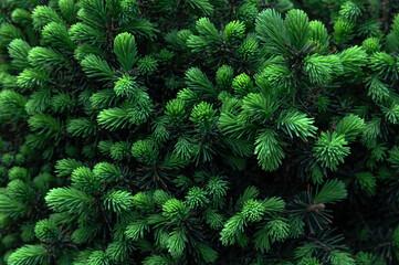 Fototapeta fresh green growths on  fir trees obraz