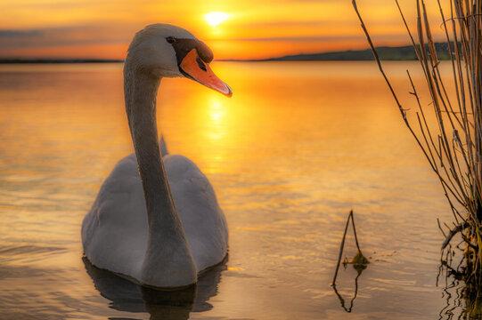 Schwan vor traumhaften Sonnenuntergang auf einem See