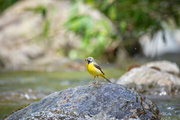 Fototapeta yellow wagtail on a rock in the river obraz
