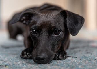 Obraz głowa czarnego psa w zbliżeniu - fototapety do salonu