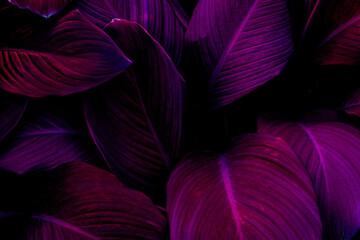 Fototapeta Full Frame of Purple Leaves Texture Background. tropical leaf obraz