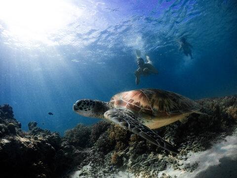 Turtle Of Gili Trawangan Island
