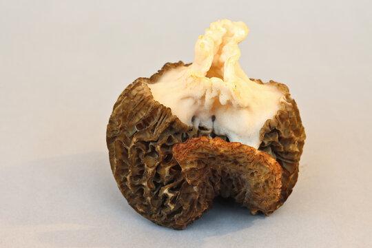 Fungi: Morchella