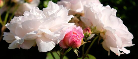 Fototapeta Róże białe i różowe obraz