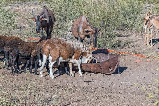 Tsessebe antilopes and Damara sheep grazing at a trough