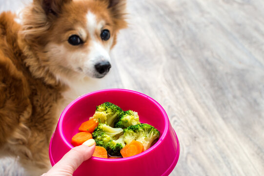 Hand of the owner with a bowl of vegetables for the dog close-up. Ginger dog soft focus
