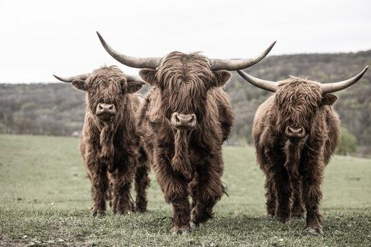 Drei schottische Hochlandrinder