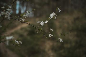 Fototapeta gałązka drzewa z kwitnącymi kwiatami obraz