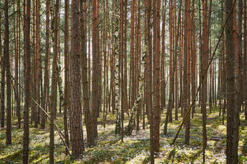 spring sunny forest, forest, trees, pine, birch, spring, grass, sunny day