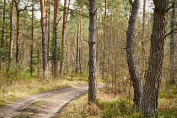 spring sunny forest road, forest, forest road, trees, spring, sunny day, pine trees