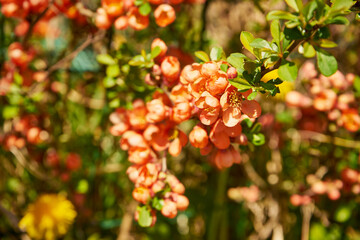 Obraz blooming Japanese quince, Japanese quince, quince, spring, flowering quince flowers, flowers, spring, sunny day, Chaenomeles japonica, Cydonia oblonga - fototapety do salonu