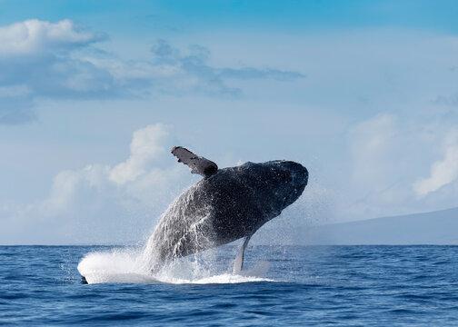 Humpback Whale Breaching in Maui, Hawaii