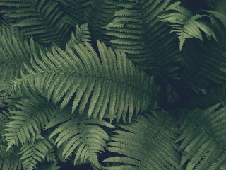 Dark green fern leaves, forest nature, background with haze.