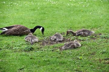 Fototapeta Gesia rodzina odpoczywajaca na lace w parku obraz