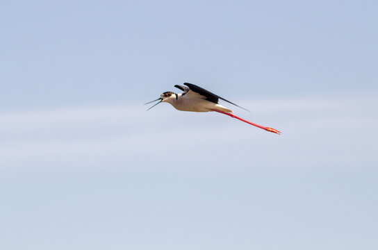Black-winged stilt take flight from the wetland water drops on legs