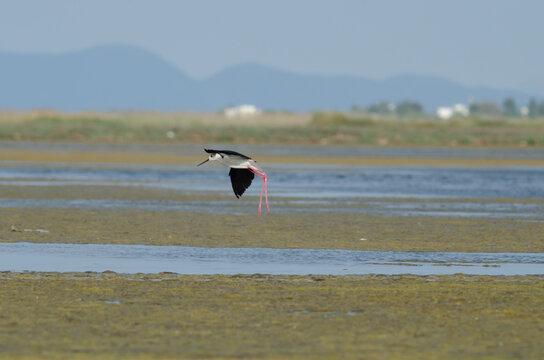 Black-winged stilt take flight from swamp surface