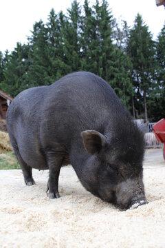 Das schwarze Schwein erinnert eher an ein Wildschwein, als an ein Hausschwein. Das Iberico Schwein - Von den schwarzen Klauen kommt auch Name des schwarzen Schweins: Pata Negra