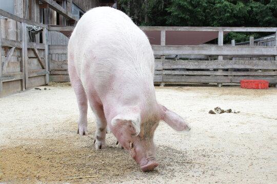 Das Hausschwein ist die domestizierte Form des Wildschweins und bildet mit ihm eine einzige Art. Es gehört damit zur Familie der Echten Schweine aus der Ordnung der Paarhufer.