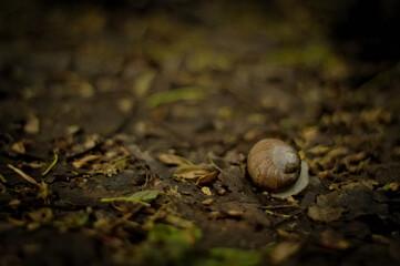 Fototapeta Skorupa ślimaka, muszla, idący ślimak na leśnej brązowo zielone ściółce, ścieżce w wiosennej aurze, na ziemi. obraz