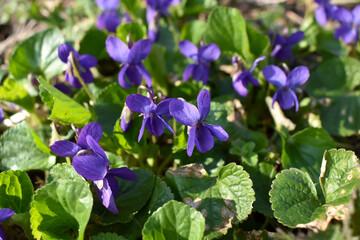 Fototapeta Małe, niebieskie kwiaty i zielone liście. obraz