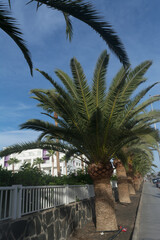 Palm trees in Gran Canaria.