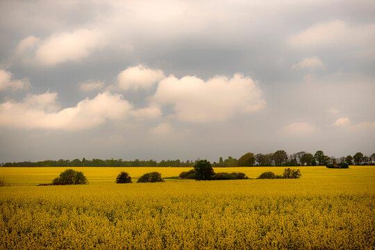 Rapeseed Field Under Moody Skies