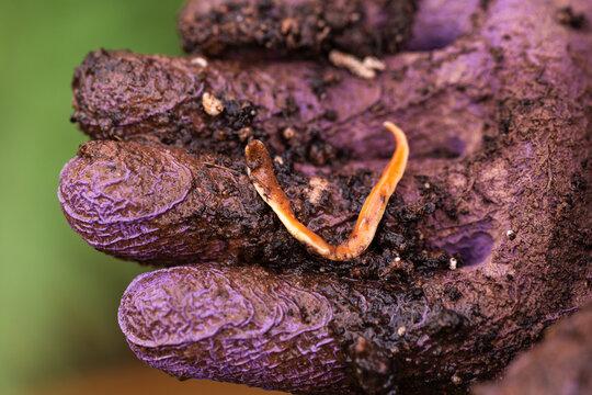 Australoplana sanguinea Australian predatory land flatworm in gardeners hand