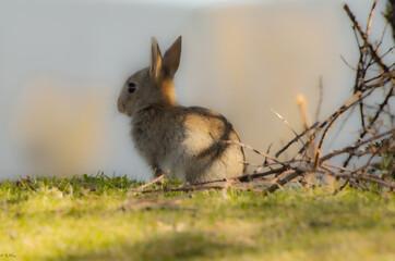 Obraz królik / rabbit - fototapety do salonu
