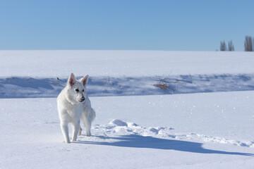 Pies w śniegu, biały owczarek szwajcarski zimą