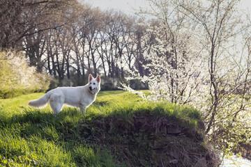 Pies, biały owczarek szwajcarski w trawie wiosną