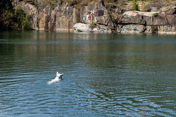 Fototapeta Pies pływa w wodzie, biały owczarek szwajcarski pływa obraz