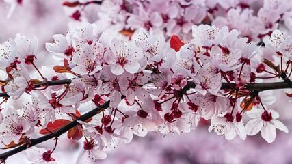 Fototapeta Wiosenne różowe kwiaty kwitnące na drzewie z bliska obraz