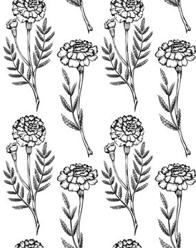 Seamless pattern with botanical sketch of various marigold flowers with shading. Vector textile with monochrome floral natural drawing. Fabric with outline pencil image of herbal plant and flowerhead.