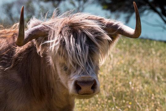 Scottish highland cow in New Zealand