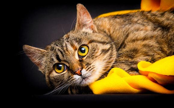 tabby cat in an yellow blanket